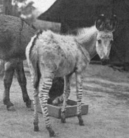 grevy-zebrass