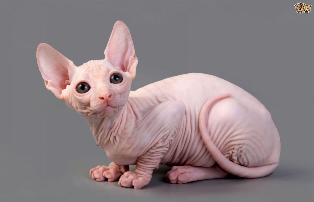 hairesscat